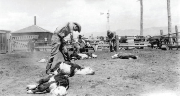 A.D. Helms and A.B. Helms branding calves, Oscura, NM, 1952. Photo courtesy of Human Systems Research and WSMR.
